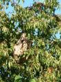 Gros nid de frelons asiatiques de septembre 2010 dans cerisier à 10m