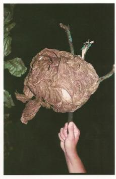 Nid de frelons asiatiques 10/07